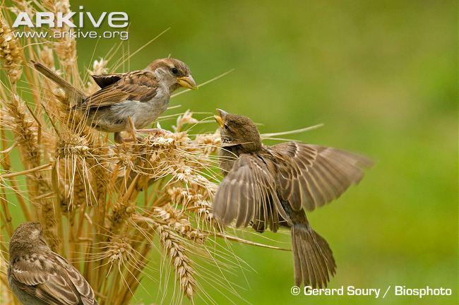 House-sparrows