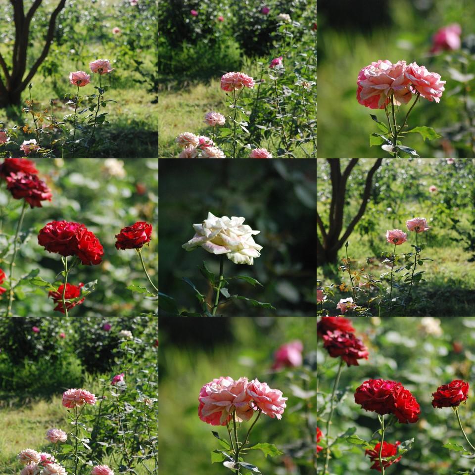 Lal Bagh Rose