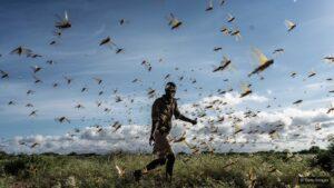 locust india